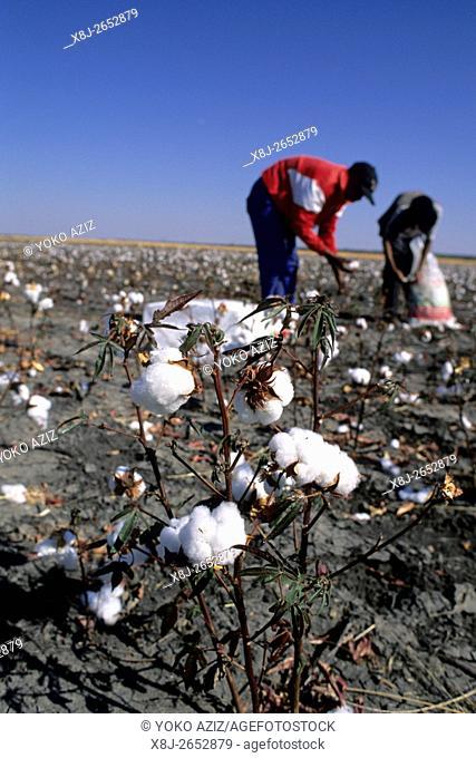 botswana, Worker in a cotton field near Nata