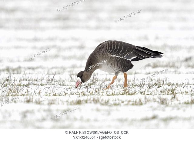 White-fronted Goose / Blaessgans ( Anser albifrons ) in winter, searching for food on snow covered farmland, single bird, wildlife, Europe