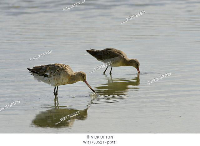 Two black-tailed godwits (Limosa limosa) foraging in a freshwater lake, Gloucestershire, England, United Kingdom, Europe