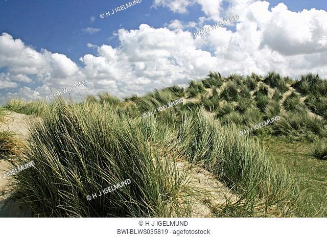 beach grass, European beachgrass, marram grass, psamma, sea sand-reed Ammophila arenaria, dunes with grasses, Netherlands, Texel