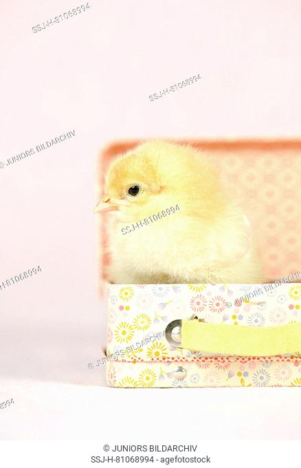 Domestic chicken, Brahma. Chick (1 day old) standing in a little suitcase. Studio picture. Germany