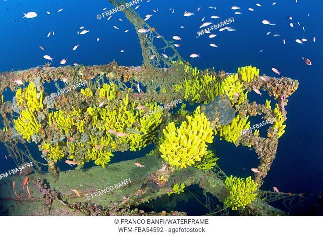 Golden Sponge at Taranto Wreck, Aplysina cavernicola, Adriatic Sea, Croatia