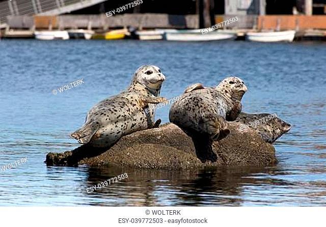 Harbor Seals at Rest on Rocks in Monterey Bay, California