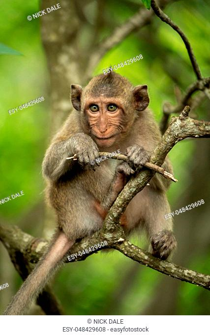 Baby long-tailed macaque in tree with twig