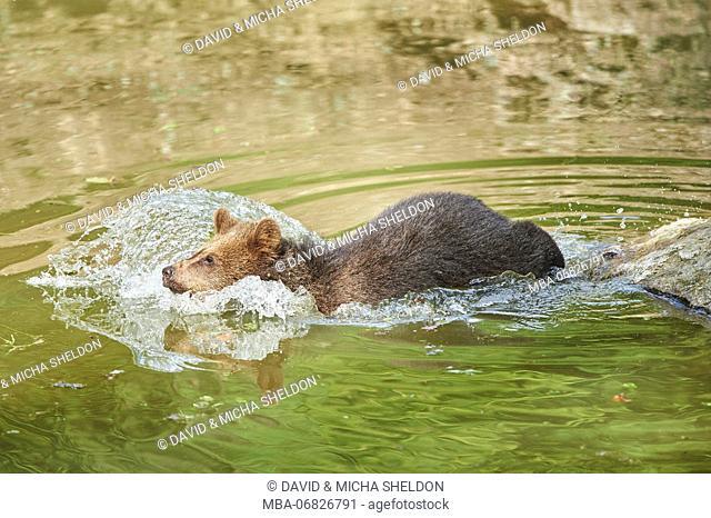 European brown bear, Ursus arctos arctos, young animal, wilderness, pond, bathe