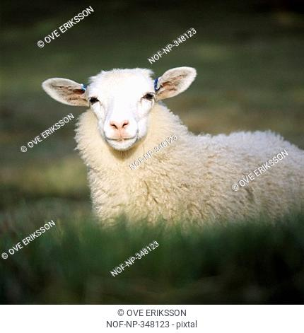 Close-up of a sheep in a field