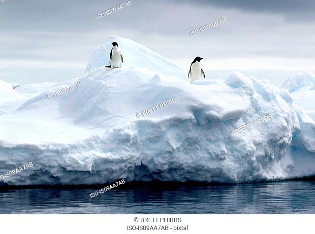 Adelie Penguins on ice floe in the southern ocean, 180 miles north of East Antarctica, Antarctica