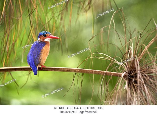 Malachite kingfisher (Alcedo cristata) perched on reed. Mabamba swamp. Victoria Lake. Uganda