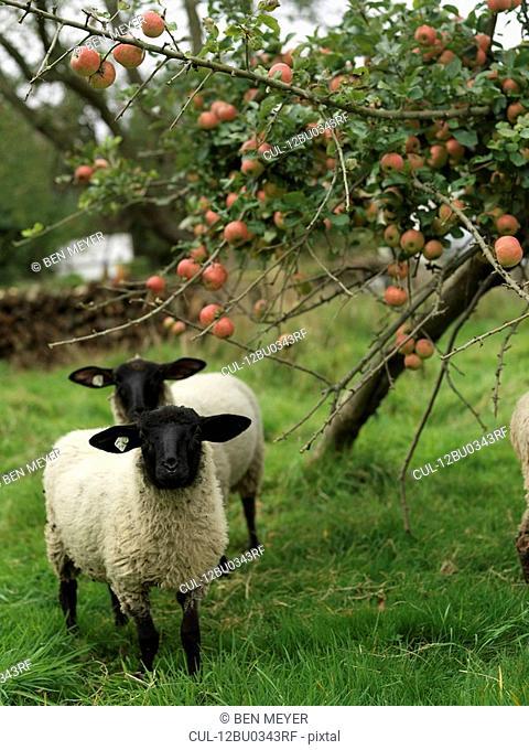 Sheep under apple tree