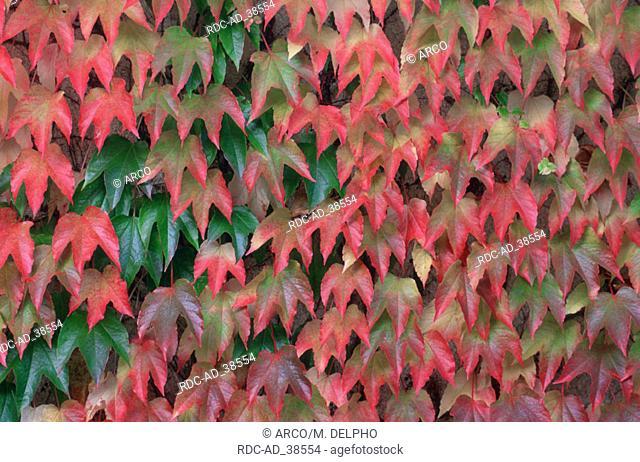 Virginia Creeper in autumn Parthenocissus quinquefolia