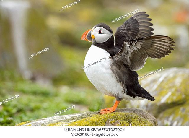 Atlantic Puffin, Fratercula arctica, Stretching Wings, Europe