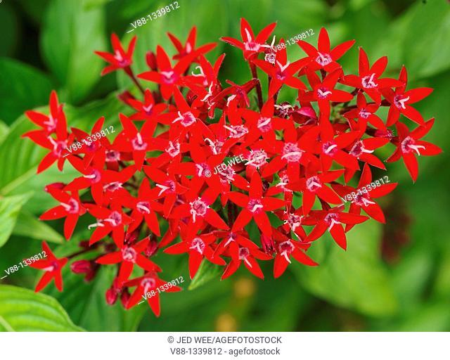 Egyptian Star Cluster (Pentas lanceolata), a flowering plant native to Northeastern Africa and Egypt, Singapore Botanic Gardens, Singapore
