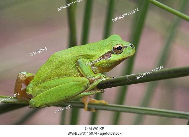 stripeless treefrog, Mediterranean treefrog Hyla meridionalis, portrait, Spain, Andalusia