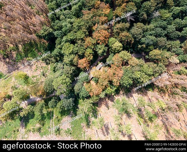 12 August 2020, North Rhine-Westphalia, Hagen: Greened larches stand in the city forest between larches already dead from bark beetle infestation
