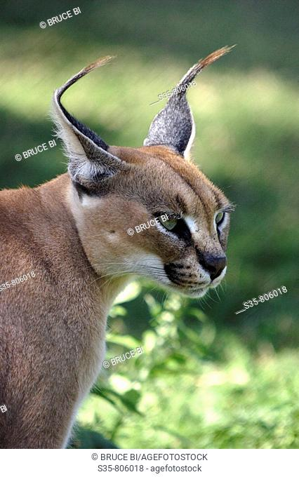 A closed up view of a Caracal in Hluhluwe Game Reserve. KwaZulu Natal, South Africa