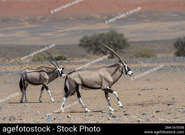 Two male South African oryxes (Oryx gazellaat), also called Gemsbok or gemsbuck, fighting in the desert landscape of Sossusvlei