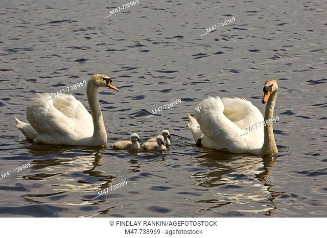 Mute swans with three cygnets , cygnus olor latin
