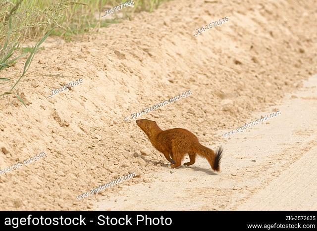 Slender mongoose (Galerella sanguinea), adult male, running and crossing the dirt road, Kgalagadi Transfrontier Park, Northern Cape, South Africa, Africa
