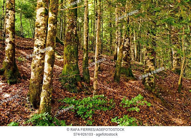 Arboles en la Selva de Irati, Navarra, Spain