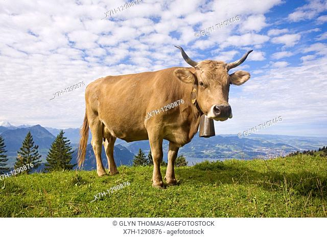 Alpine cow with bell on the Rigi, overlooking Lake Lucerne, Switzerland