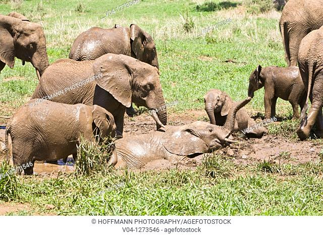 Several african elephants (Loxodonta africana) taking a mud bath in the Tarangire National Park in Tansania, Africa