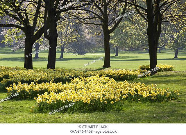Daffodils, Green Park, London, England, United Kingdom, Europe