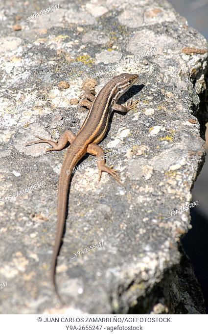 Psammodromus algirus, Large psammodromus, lagartija colilarga, Sauria, Lacertidae, Miranda del Castanar, Las Batuecas Sierra de Francia Natural Park, Salamanca