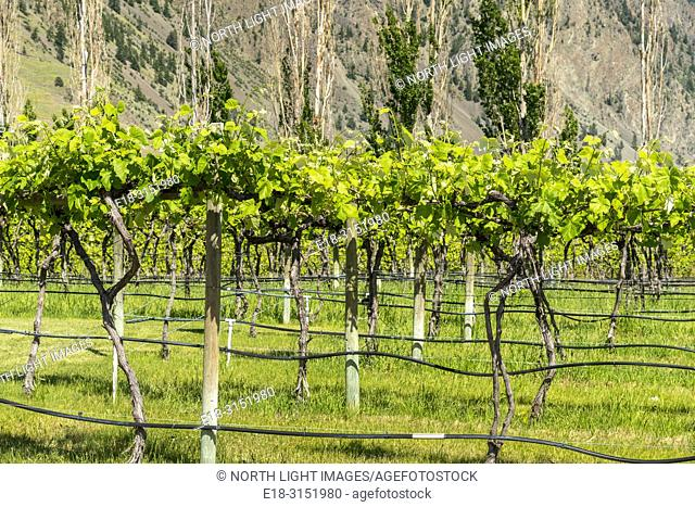 Canada, BC, Keremeos. Young grape vines at Robin Ridge winery. Keremeos is in the southern Okanagan Valley, British Columbia's premier wine making region