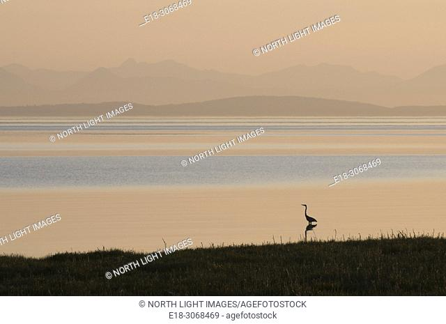 Canada, BC, Landner. Lone great blue heron standing in the shallow waters on the shore of the Georgia Strait, in the Fraser River Estuary