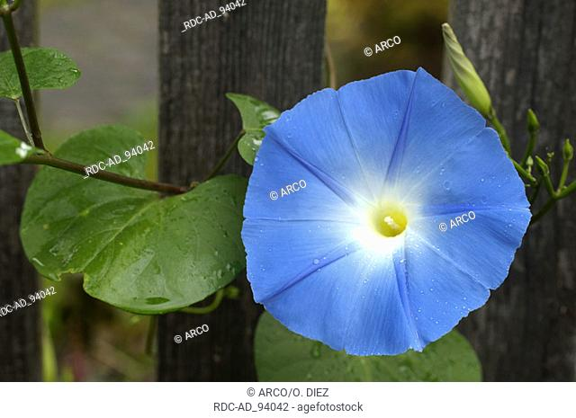 Ipomoea flower Ipomoea tricolor Flying Saucers Heavenly Blue Morning Glory Convolvulaceae