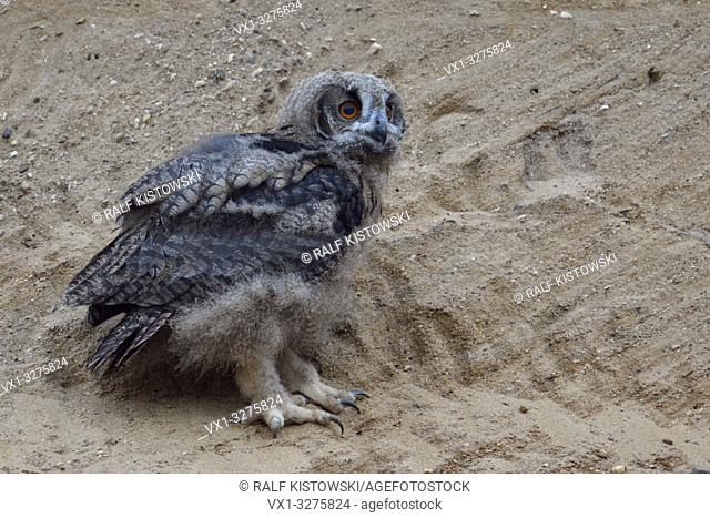Eurasian Eagle Owl ( Bubo bubo ), young chick, owlet in sand pit, standing in a wall, looks cute and funny, wildlife, Europe