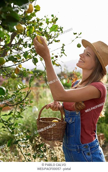 Young woman picking lemons