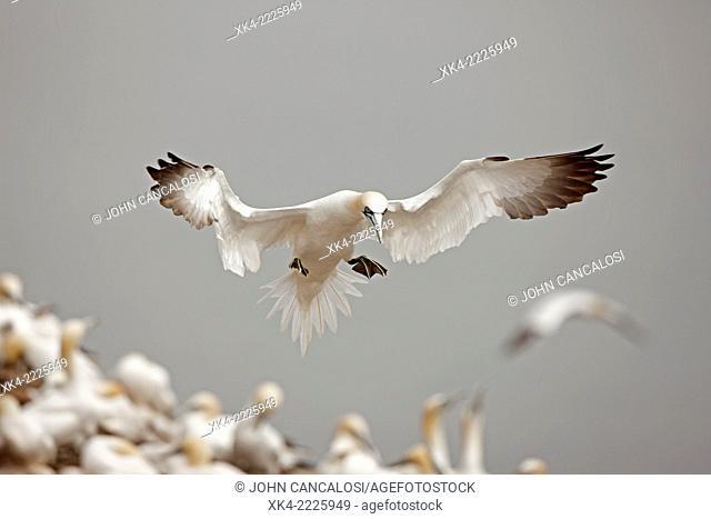 Northern gannet, in flight, Canada