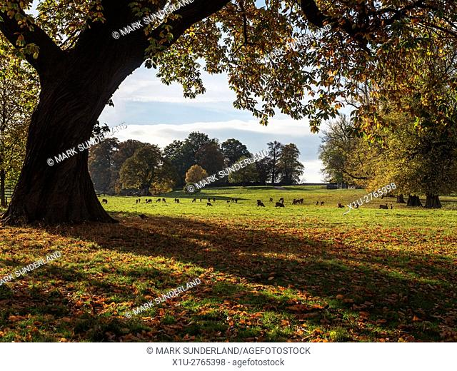 Red Deer Grazing at Studley Royal Deer Park in Autumn Ripon Yorkshire England