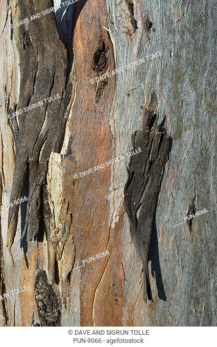 Eucalyptus tree trunk showing peeling bark at Carnarvon National Park