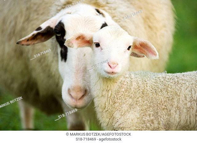 A sheep looks for contact to her lamb
