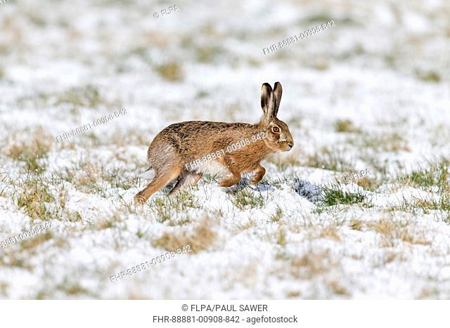 European Hare (Lepus europeaus) adult, running in snow covered grass field, Suffolk, England, March