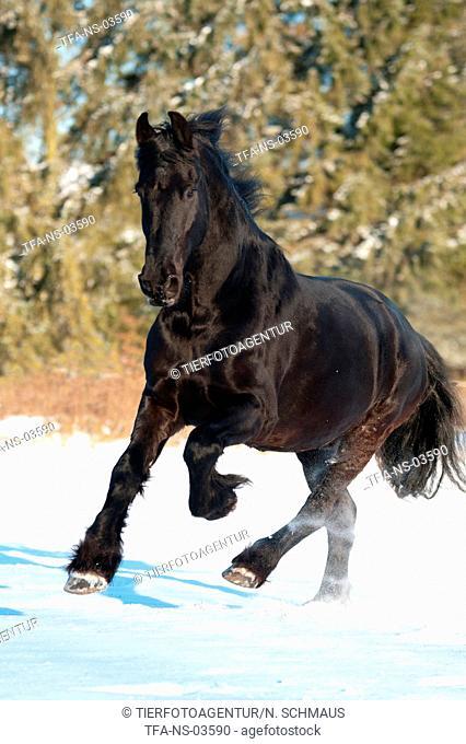 galloping Frisian horse
