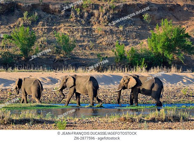 African bush elephant bulls (Loxodonta africana) drinking in Letaba river, Kruger National Park, South Africa, Africa