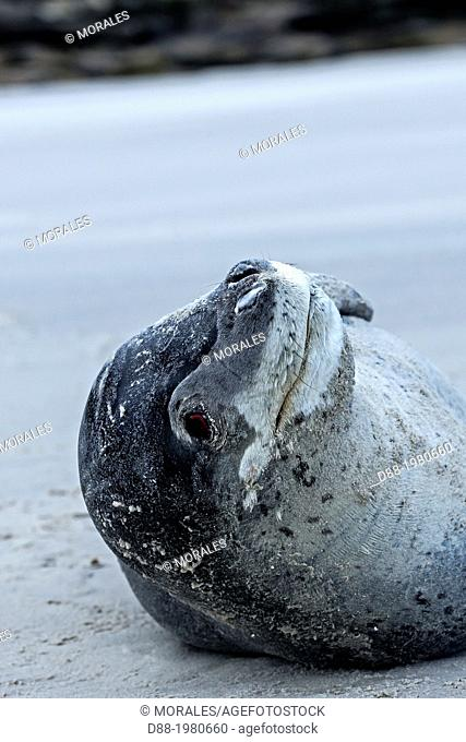 Falkland Islands , Saunders island , Leopard Seal ( Hydrurga leptonyx ) on the beach