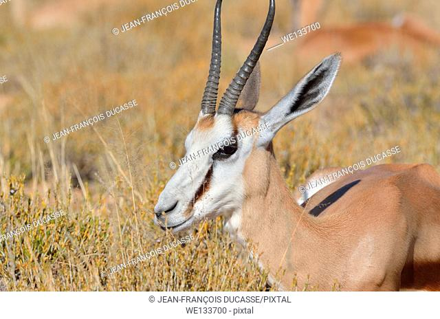 Springbok (Antidorcas marsupialis), lying in dry grass, Kgalagadi Transfrontier Park, Northern Cape, South Africa, Africa