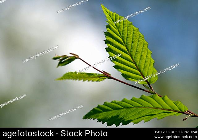 05 May 2020, Brandenburg, Rathenow: The leaves of a hornbeam glow in the back light of the afternoon sun. Photo: Soeren Stache/dpa-Zentralbild/ZB