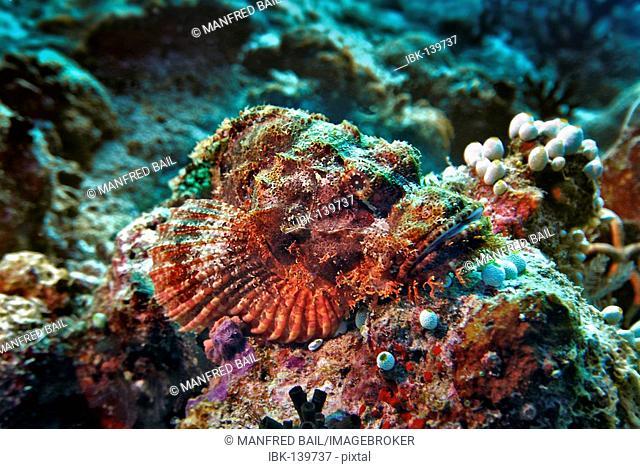 Tassled Scorpionfish (Scorpaenopsis oxycephala) at the Vakarufalhi-Ari atoll, the Maldives, Indian Ocean