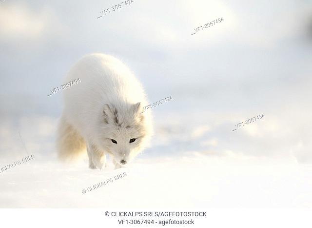 Arctic fox in Pyramiden,(Vulpes lagopus), Billefjorden, Spitsbergen, Svalbard