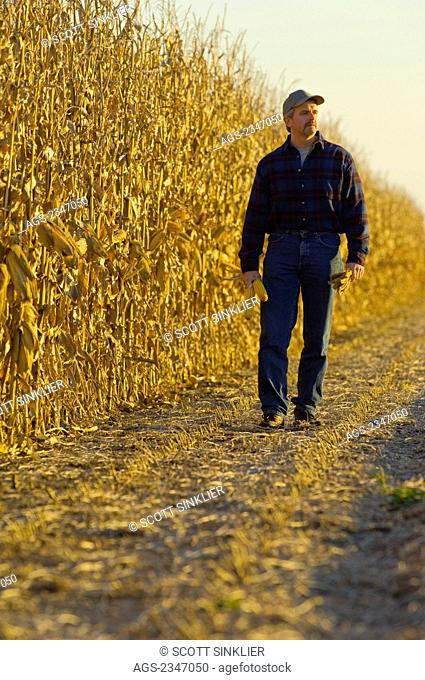 Agriculture - A farmer walks along a row of partially harvested mature grain corn plants in Autumn while inspecting his crop / Iowa, USA