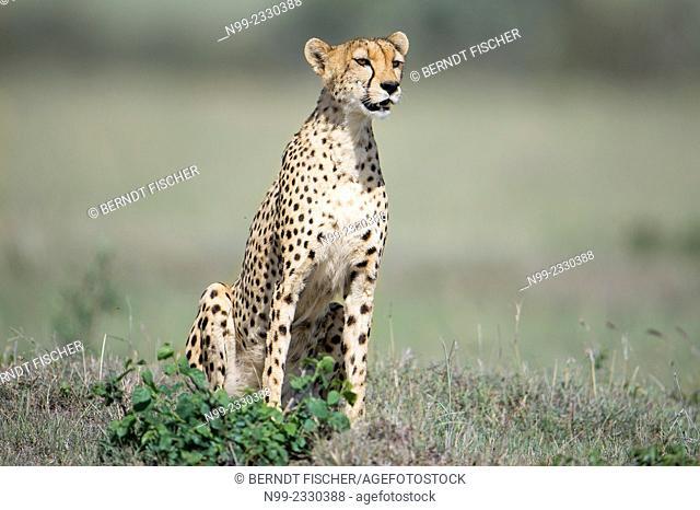 Cheetah (Acinonyx jubatus), sitting on outlook, Masai Mara, Kenya