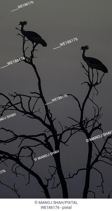 Crowned Cranes at dawn. Masai Mara National Reserve, Kenya