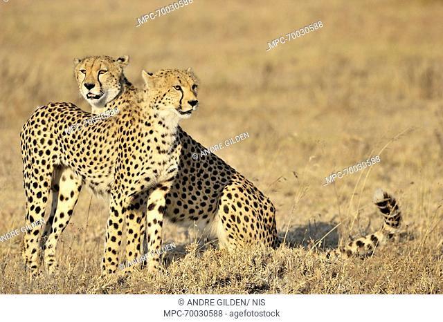 Cheetah (Acinonyx jubatus) pair, Lake Ndutu, Serengeti National Park, Tanzania