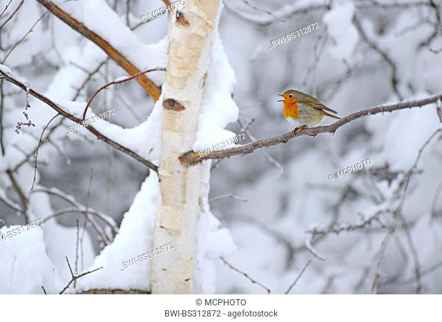 European robin (Erithacus rubecula), sitting on a snow covered birch singing, Germany, Lower Saxony