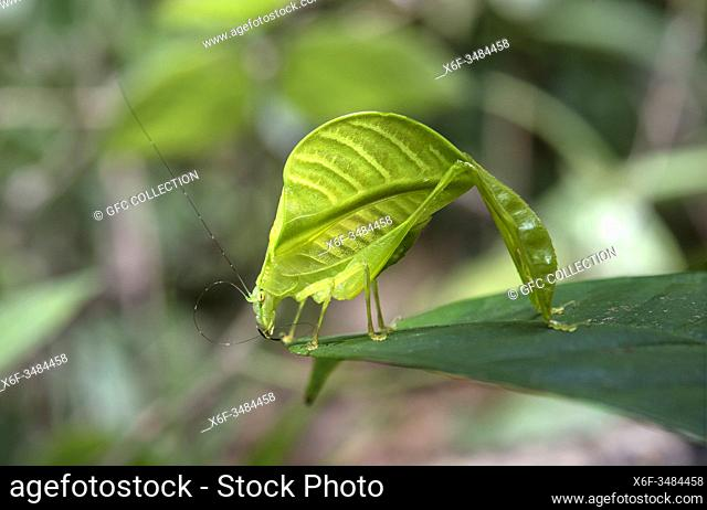 Eulophyllum lobatum in habitat, a leaf katydid mimicing jungle foliage being almost undistinguishable from a real leaf, native to North Borneo